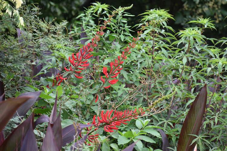 Erythrina ×bidwillii (coralbean hybrid)