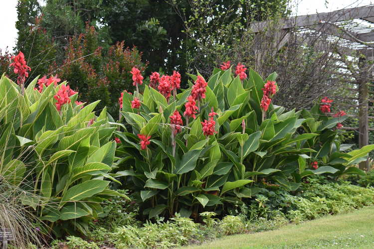 Canna 'Red Tiger' (canna lily)