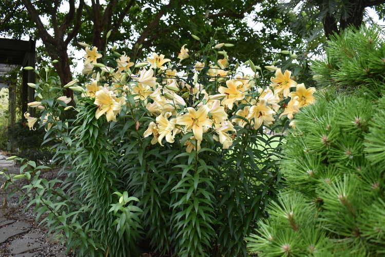 Lilium 'Orania' (Orienpet Lily)