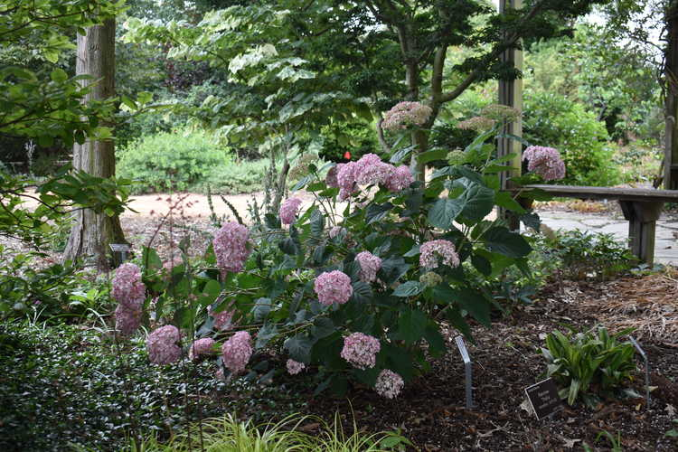 Hydrangea arborescens 'Ncha4' (Incrediball Blush smooth hydrangea)