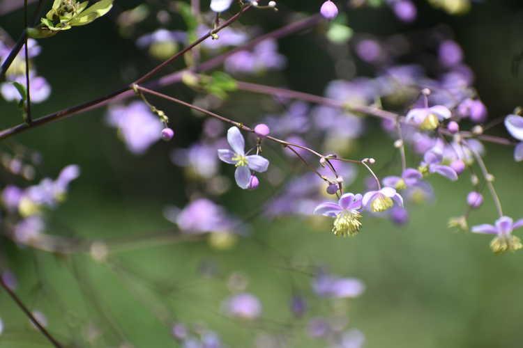 Thalictrum rochebruneanum var. grandisepalum (meadow rue)