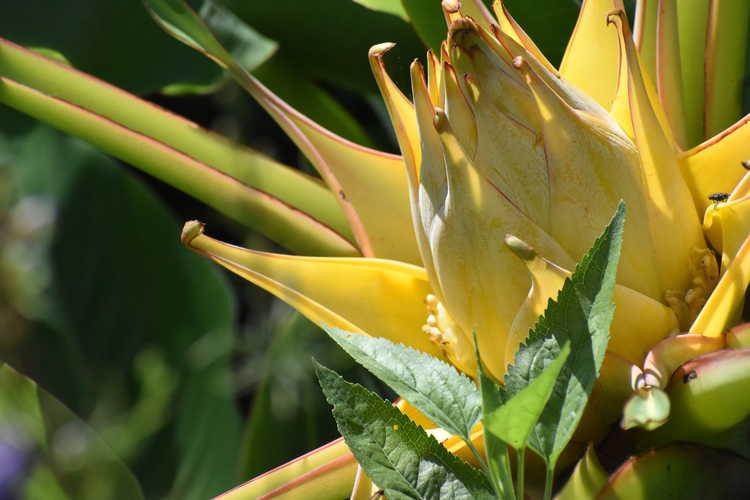 Musella lasiocarpa (Chinese yellow banana)