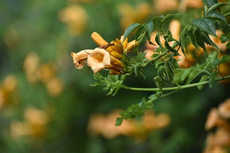 Campsis radicans 'Apricot' (trumpet vine)