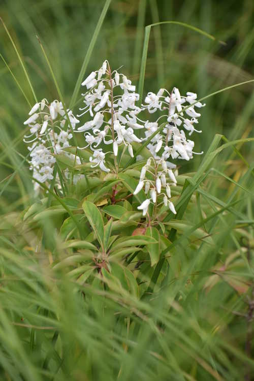 Elliottia racemosa (Georgia plume)