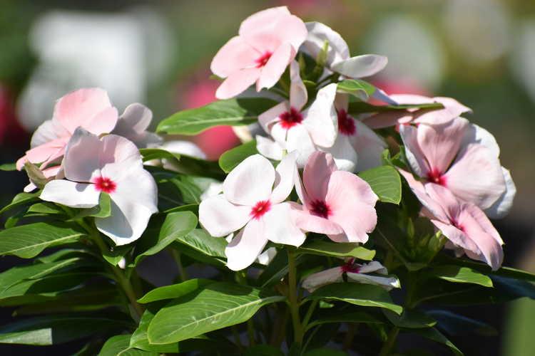 Catharanthus roseus 'Pas1192826'
