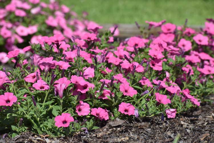 Petunia 'Balcushink'