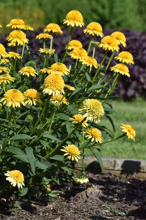 Echinacea 'TNECHCMY' (Cara Mia Yellow coneflower)