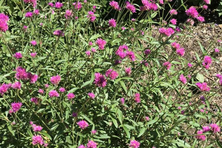 Verbena bonariensis 'INVEBPUTOW'