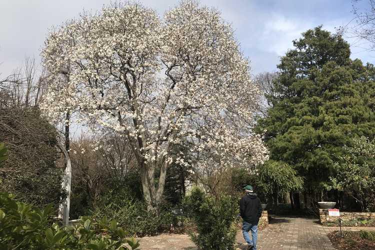 Magnolia ×loebneri 'Merrill' (Loebner magnolia) - White Garden