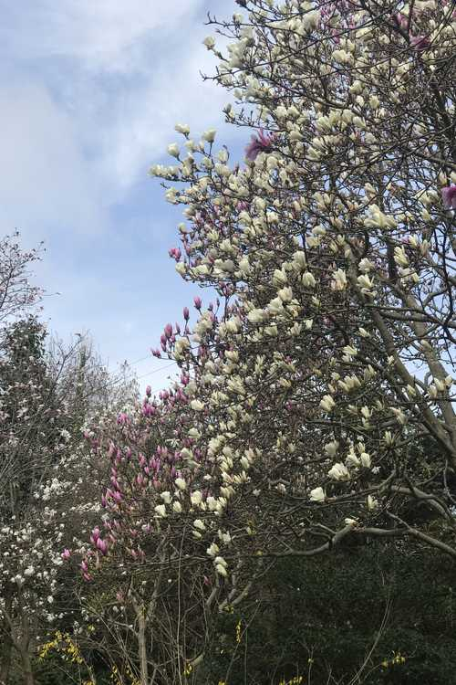 Magnolia Collection is in flower throughout the garden
