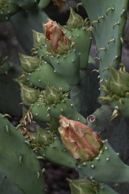 Opuntia cacanapa 'Ellisiana' (spineless prickly-pear)