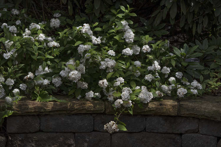 Hydrangea serrata 'Hakusen' (mountain hydrangea)