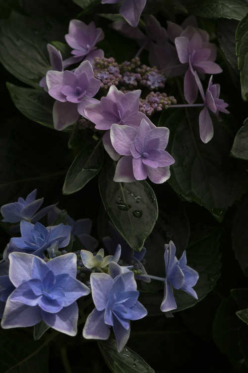 Hydrangea macrophylla 'Kompeito' (Double Delights Star Gazer bigleaf hydrangea)