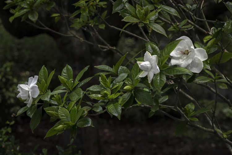 Gardenia jasminoides 'Chuck Hayes' (Cape jessamine)