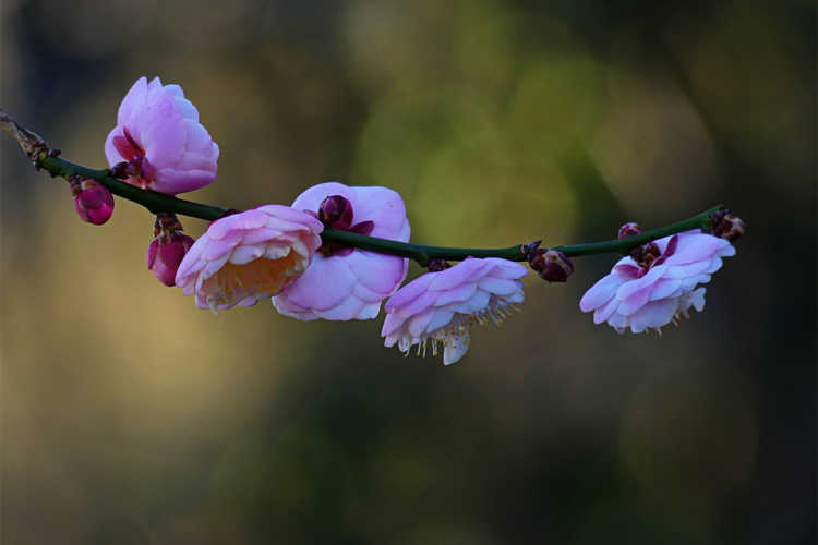 Prunus mume 'Rose Bud' (pink Japanese flowering apricot)