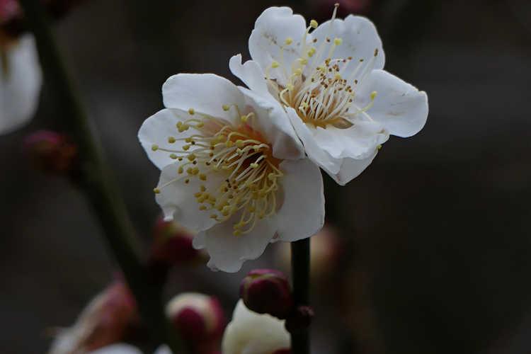 Prunus mume 'Tojibai' (white Japanese flowering apricot)