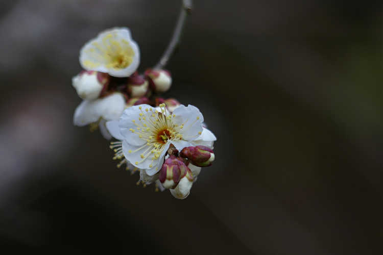 Prunus mume 'Big Joe' (white Japanese flowering apricot)