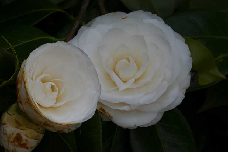Camellia japonica 'White By The Gate' (Japanese camellia)