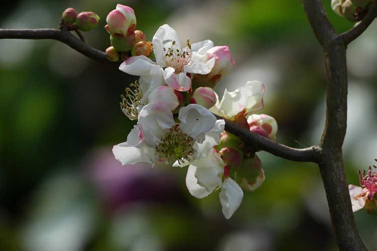 Chaenomeles speciosa 'Contorta' (contorted flowering quince)
