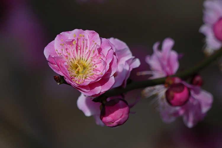 Prunus mume 'Yuh-Hwa' (Japanese flowering apricot)