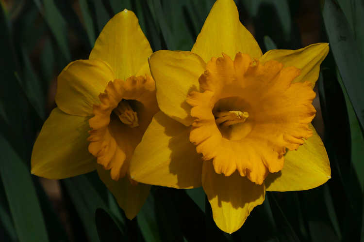 Narcissus 'Kassell's Gold'