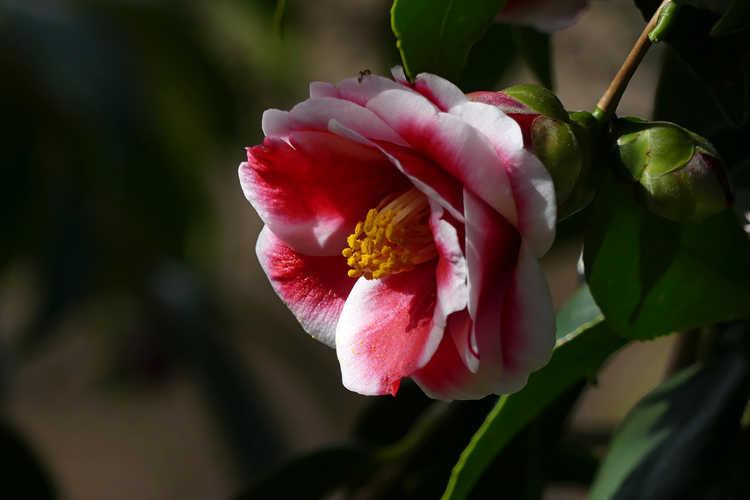 Camellia japonica 'Tama Peacock' (picotee Japanese camellia)