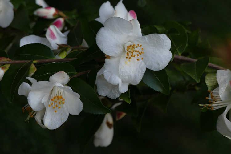 Camellia transnokoensis (Mount Noko camellia)