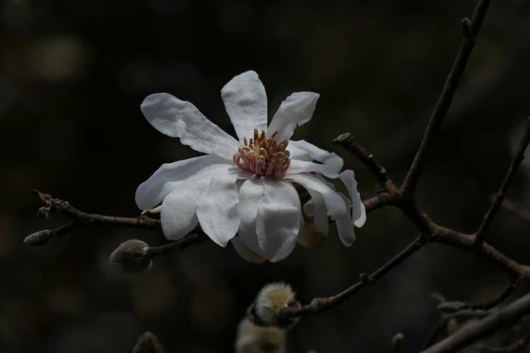 Magnolia ×loebneri 'Ballerina' (Loebner magnolia)