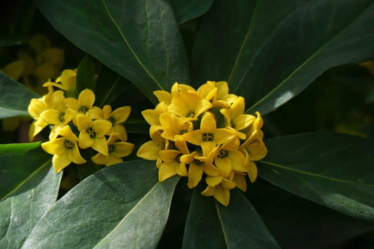 Daphne pseudomezereum (yellow daphne)