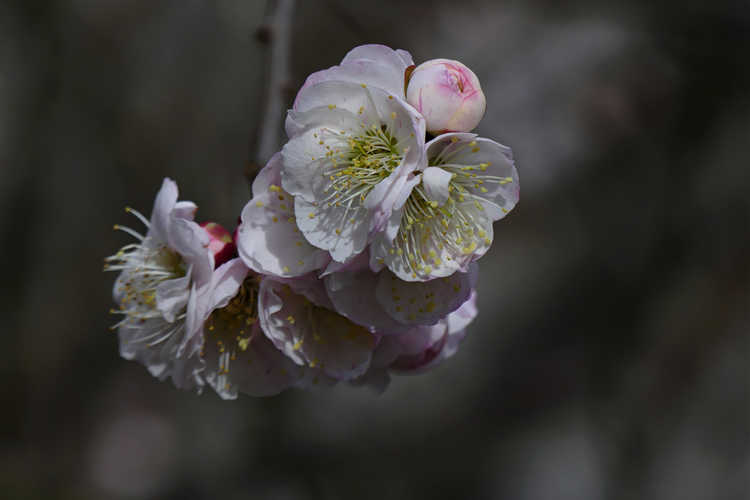 Prunus mume 'Omoi-no-mama' (Japanese flowering apricot)