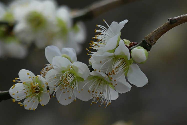 Prunus mume 'Tama' (Japanese flowering apricot)