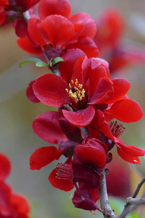 Chaenomeles japonica 'Atsuya Hamada' (Japanese flowering quince)