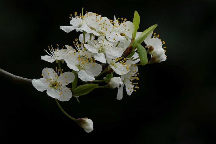 Prunus mexicana (Mexican plum)