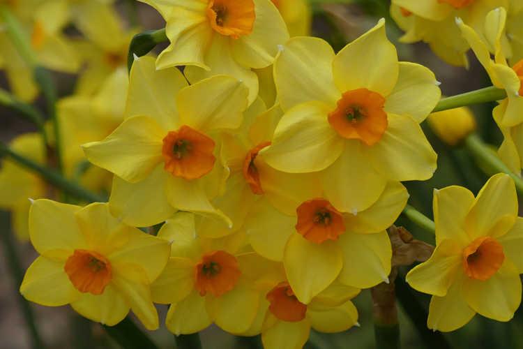 Narcissus 'Martinette' (jonquilla)