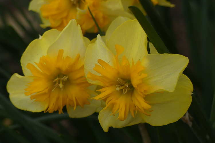 Narcissus 'Slice of Life'