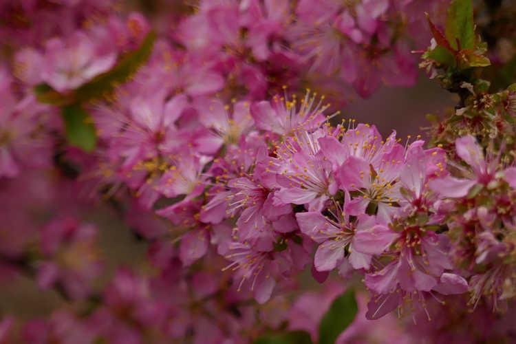 Prunus jacquemontii (Afghan bush cherry)