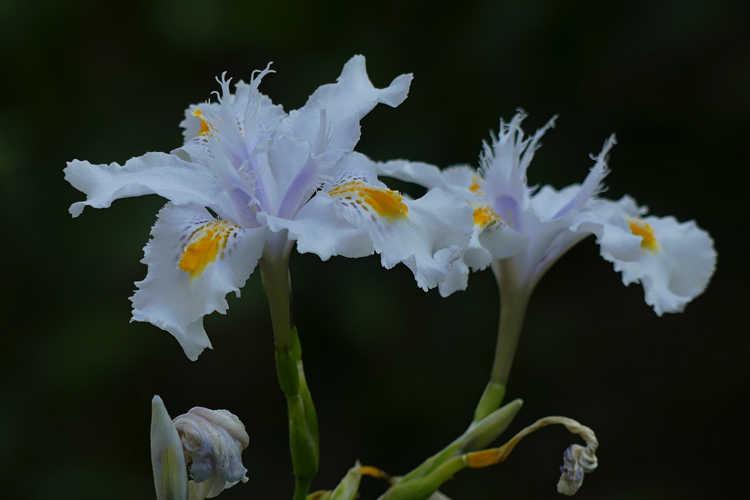 Iris 'Nada' (butterfly iris)