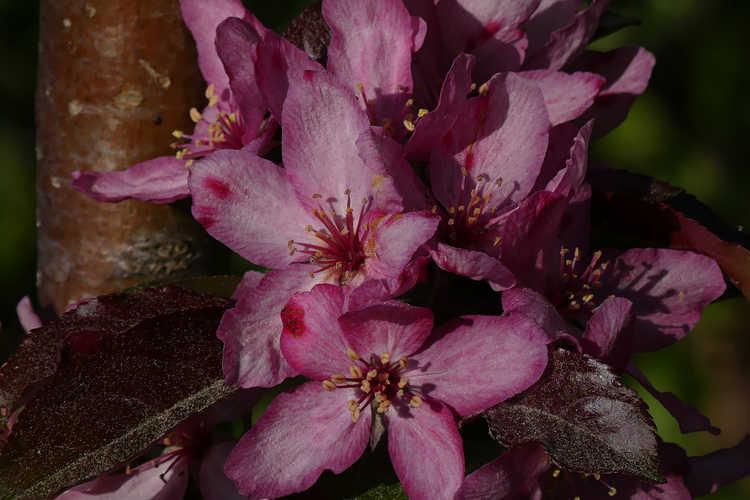 Malus 'Jfs Kw213mx' (Raspberry Spear upright crabapple)