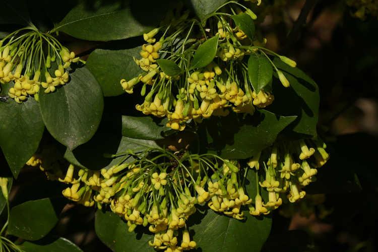 Pittosporum aff. truncatum (truncated pittosporum)
