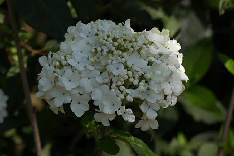 Viburnum 'Nantucket' (hybrid viburnum)