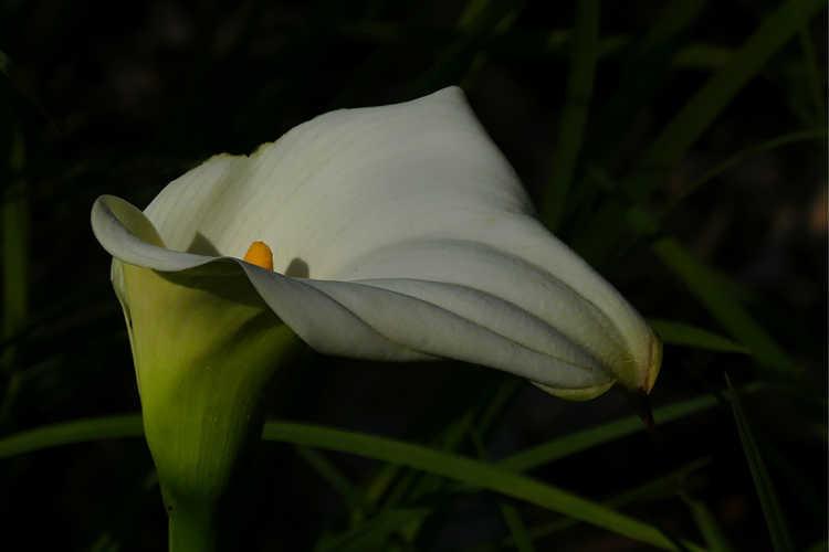 Zantedeschia aethiopica 'African Gold' (variegated calla lily)