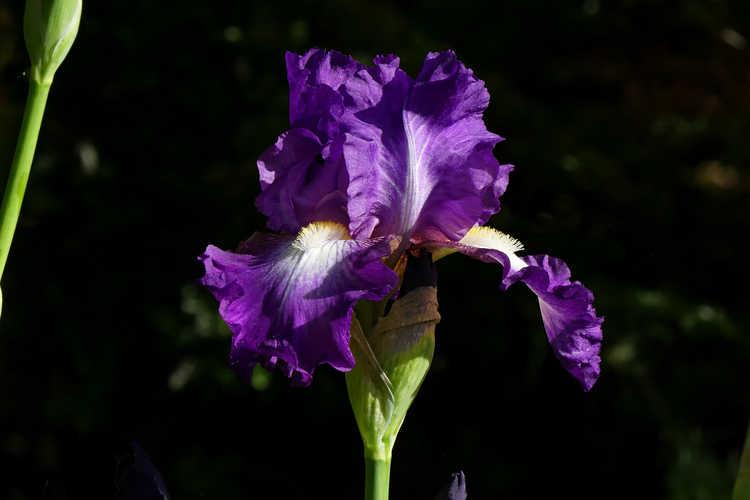 Iris 'Fall Spotlight' (reblooming tall bearded Iris)