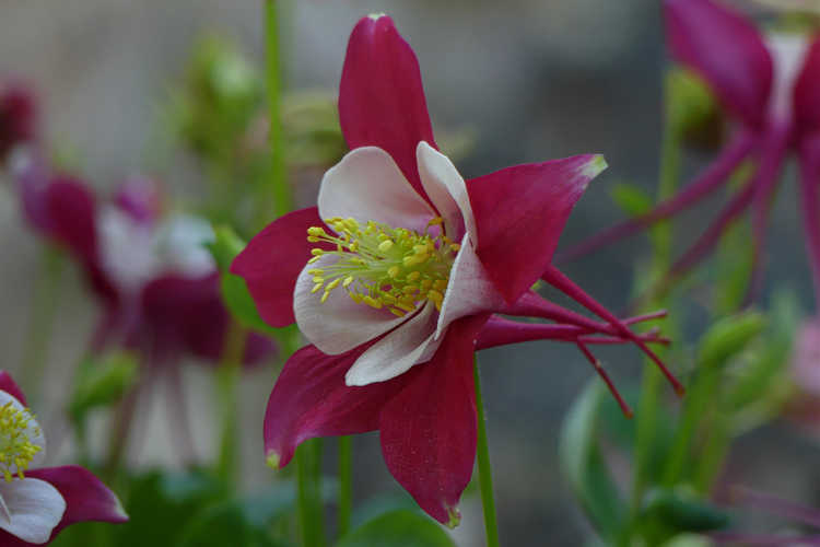 Aquilegia caerulea (Kirigami Red & White Rocky Mountain columbine)