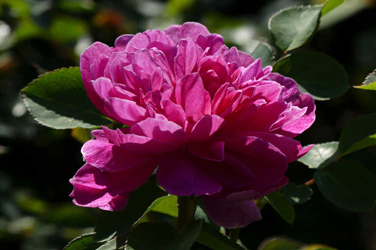 Rosa 'Auslot' (Sophy's Rose shrub rose)