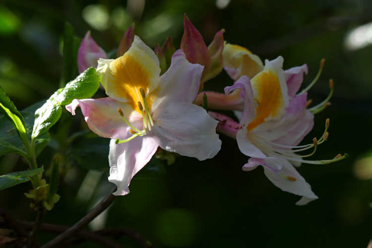 Rhododendron 'Touch of Pink' (Aromi hybrid azalea)