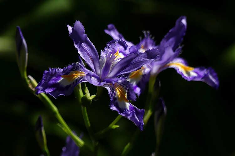 Iris japonica 'Skirt Chaser' (Japanese evergreen iris)