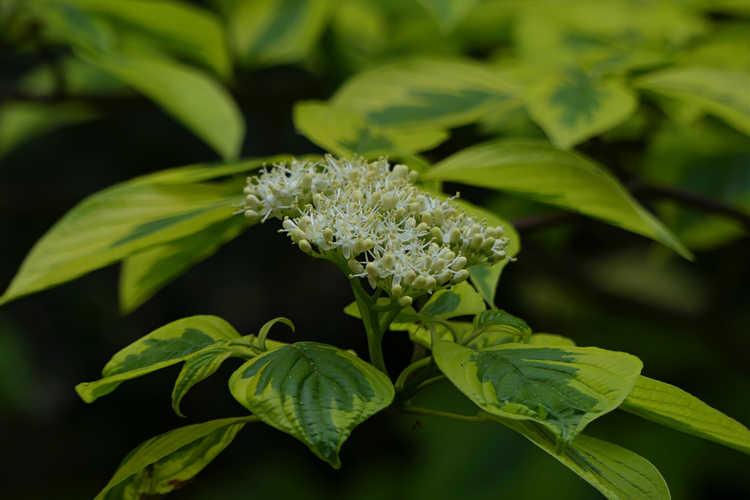 Cornus alternifolia 'W. Stackman' (Golden Shadows variegated pagoda dogwood)