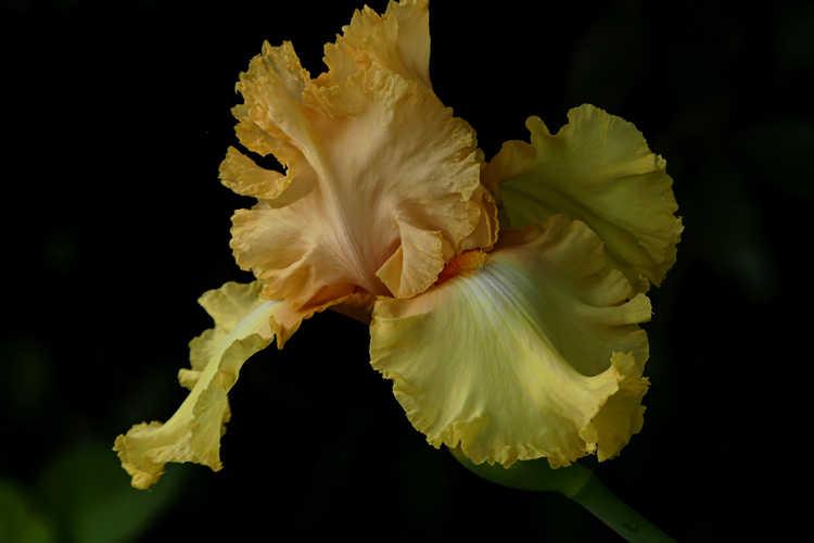 Iris 'Genteel' (tall bearded iris)
