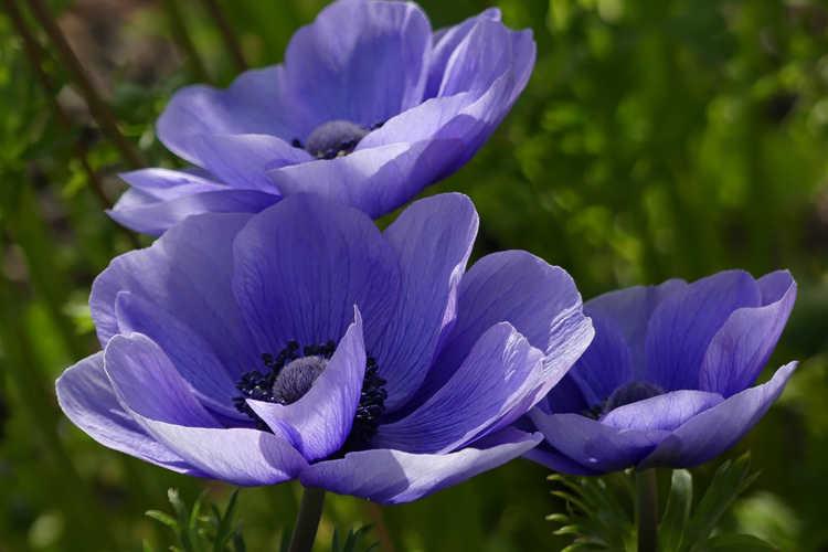 Anemone coronaria 'Mister Fokker' (De Caen Group) (poppy anemone)