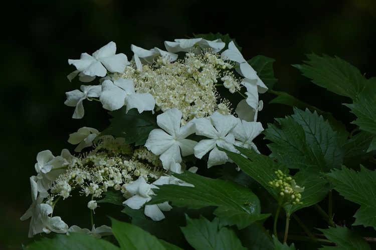 Viburnum sargentii (Sargent viburnum)